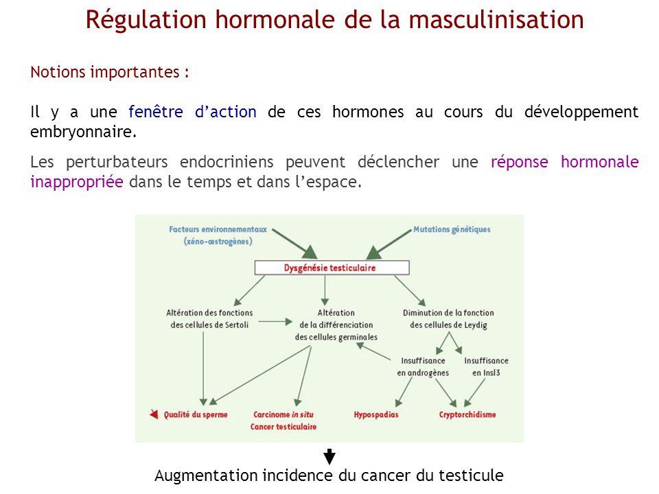 Régulation hormonale de la masculinisation