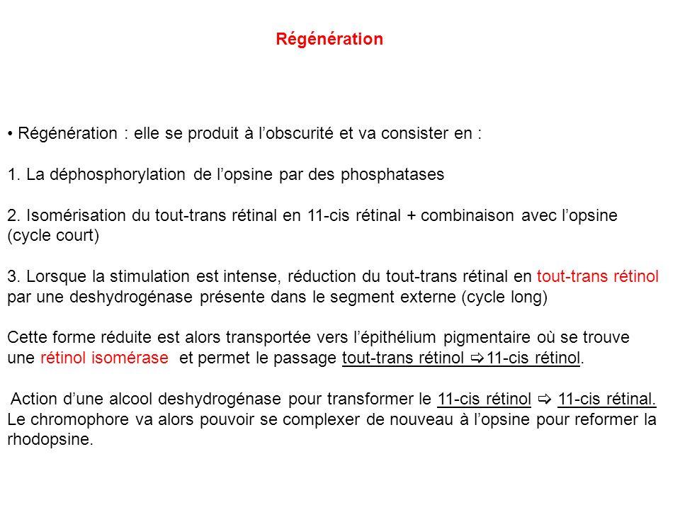RégénérationRégénération : elle se produit à l'obscurité et va consister en : 1. La déphosphorylation de l'opsine par des phosphatases.