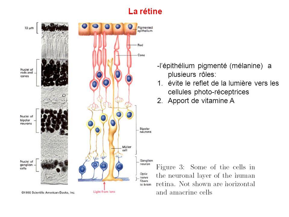 La rétine -l'épithélium pigmenté (mélanine) a plusieurs rôles: