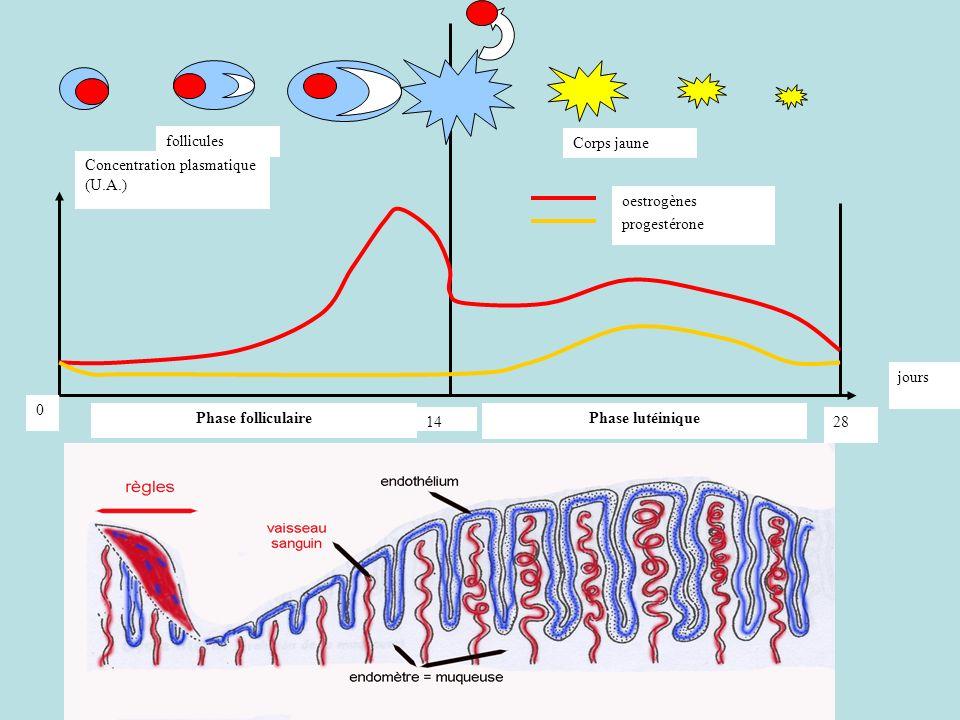 14 28. Concentration plasmatique (U.A.) oestrogènes. progestérone. jours. Phase folliculaire. Phase lutéinique.