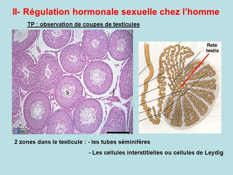 II- Régulation hormonale sexuelle chez l'homme