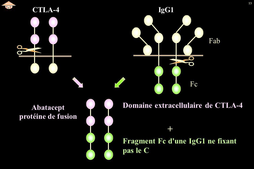 + Domaine extracellulaire de CTLA-4