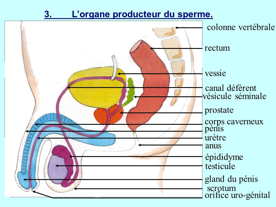 3. L'organe producteur du sperme.