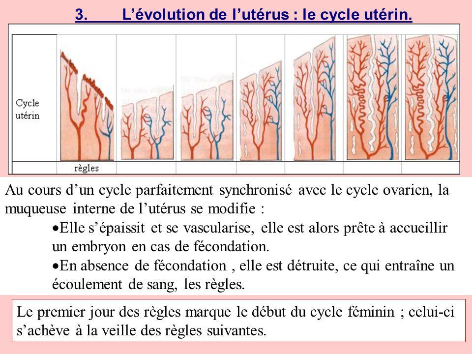 3. L'évolution de l'utérus : le cycle utérin.