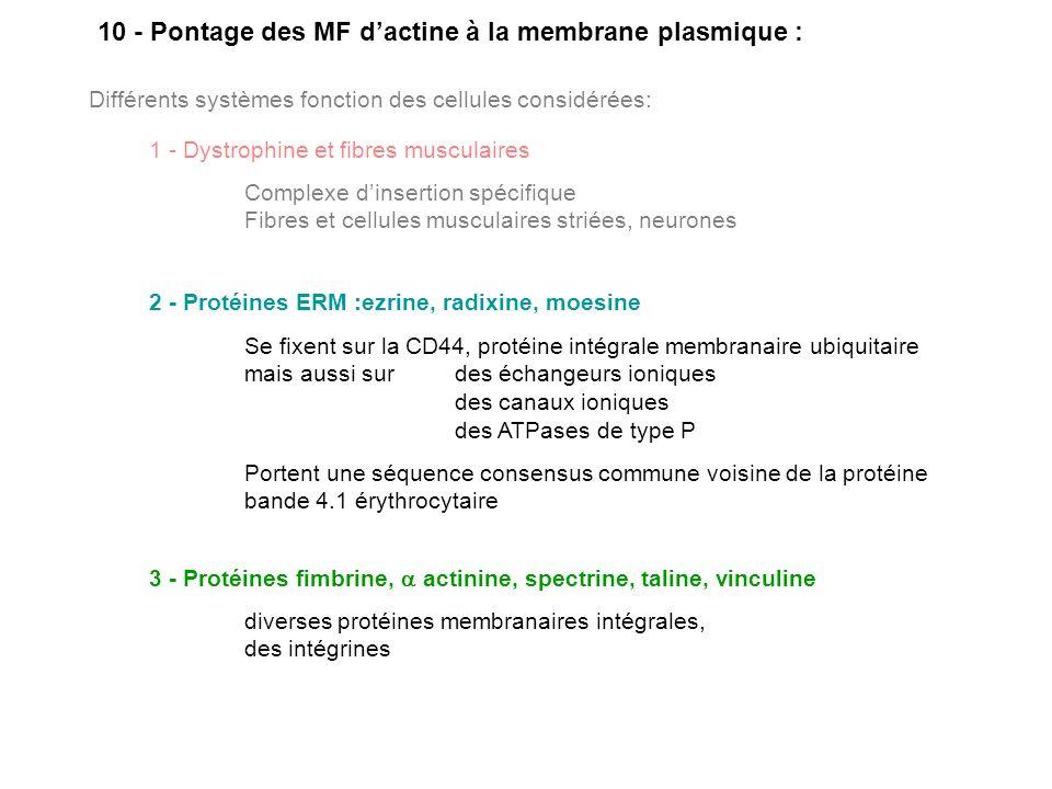 10 - Pontage des MF d'actine à la membrane plasmique :