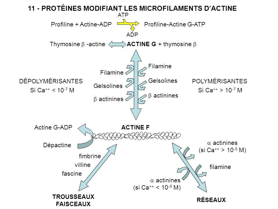 11 - PROTÉINES MODIFIANT LES MICROFILAMENTS D'ACTINE