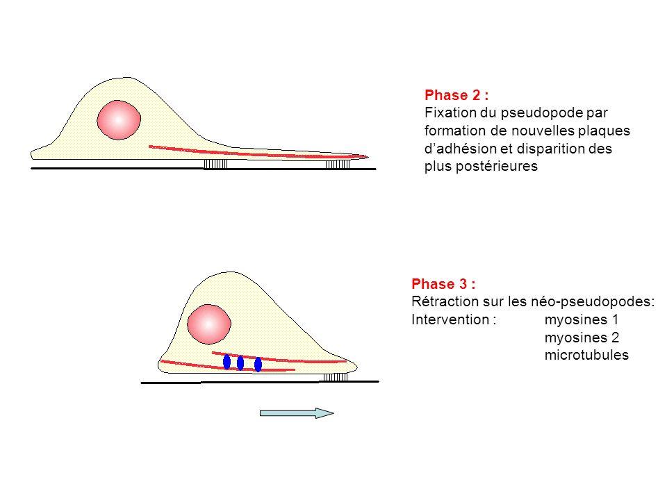 Phase 2 : Fixation du pseudopode par formation de nouvelles plaques d'adhésion et disparition des plus postérieures.