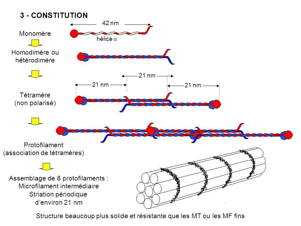 3 - CONSTITUTION Monomère Homodimère ou hétérodimère Tétramère
