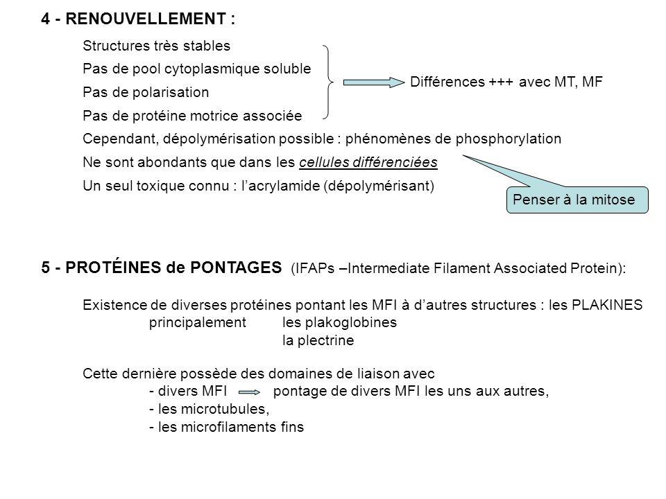 4 - RENOUVELLEMENT : Structures très stables. Pas de pool cytoplasmique soluble. Différences +++ avec MT, MF.