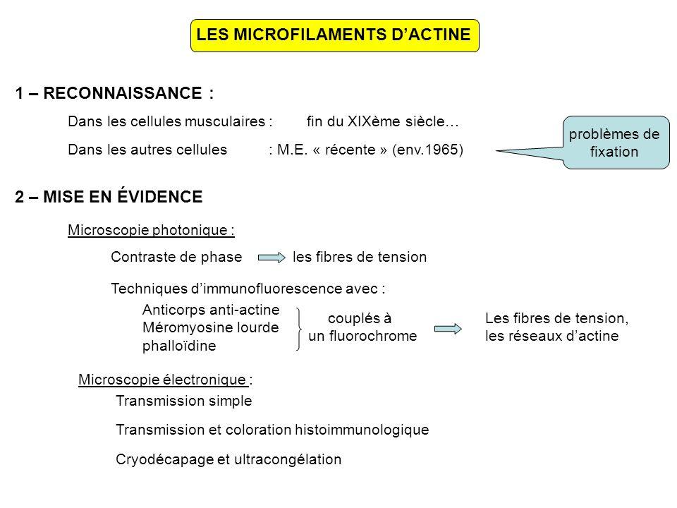 LES MICROFILAMENTS D'ACTINE