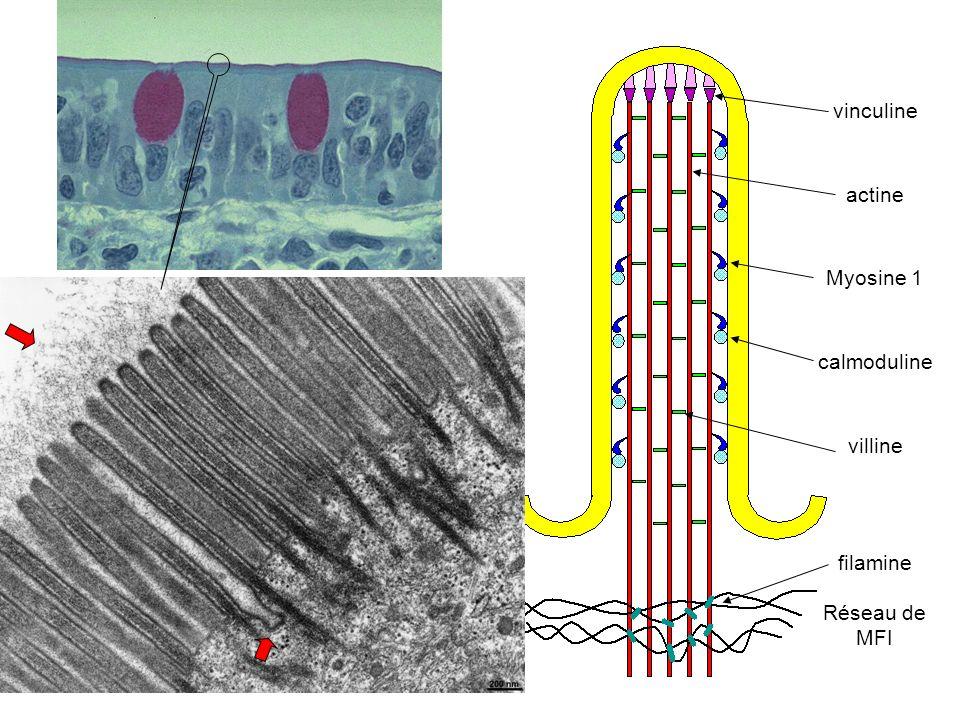 vinculine actine Myosine 1 calmoduline villine filamine Réseau de MFI