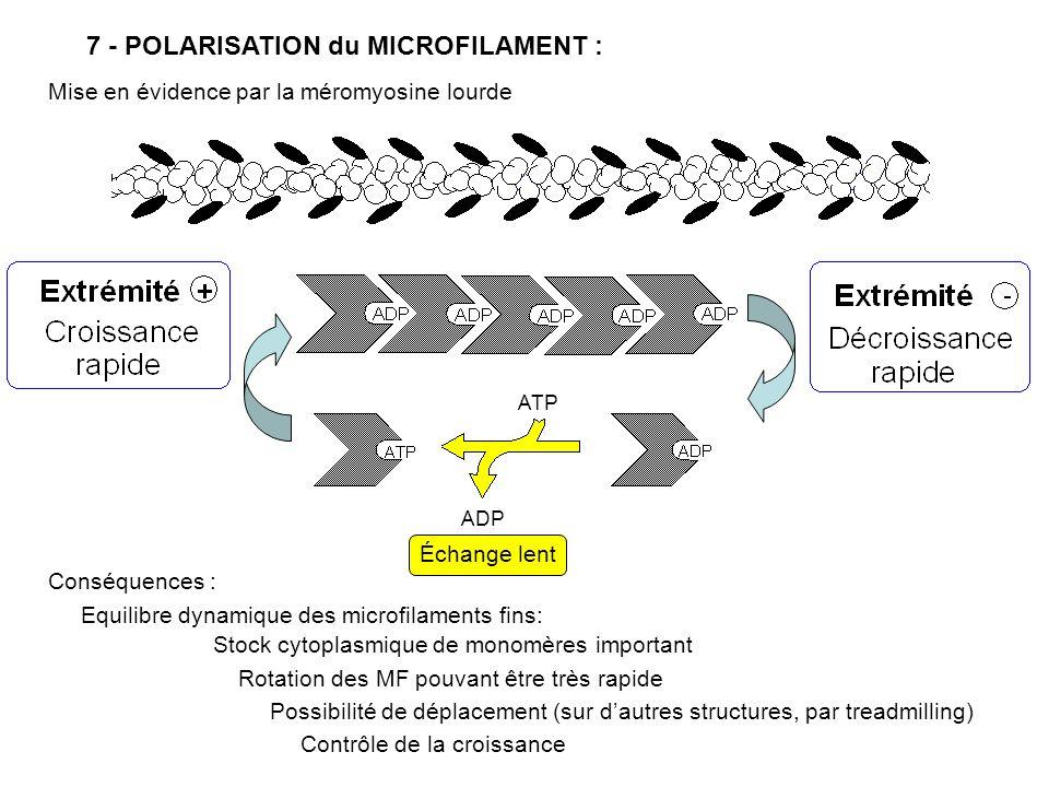 7 - POLARISATION du MICROFILAMENT :