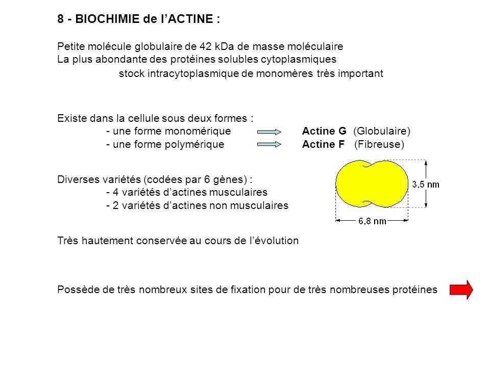 8 - BIOCHIMIE de l'ACTINE :