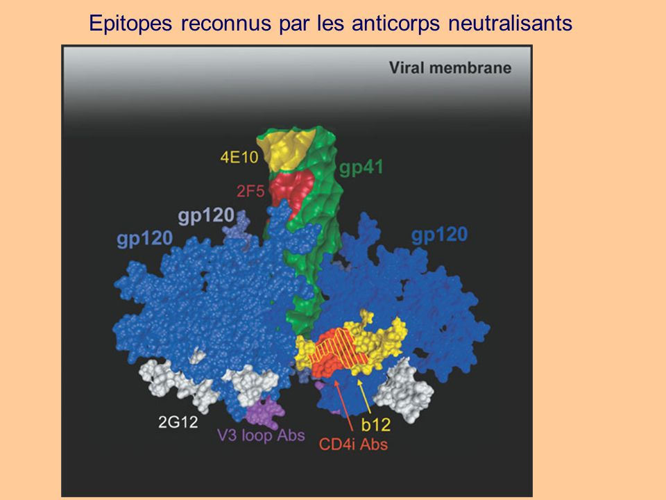 Epitopes reconnus par les anticorps neutralisants