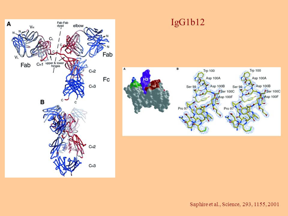 IgG1b12 Saphire et al., Science, 293, 1155, 2001