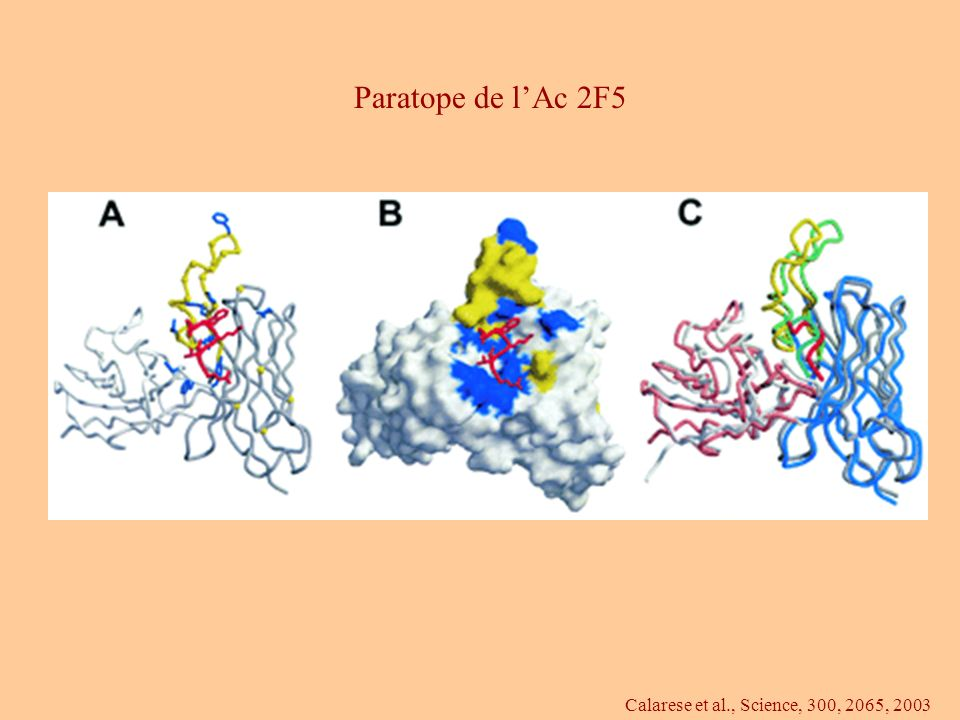 Paratope de l'Ac 2F5 Calarese et al., Science, 300, 2065, 2003