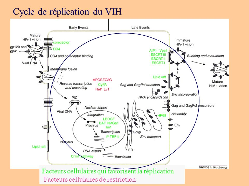 Cycle de réplication du VIH
