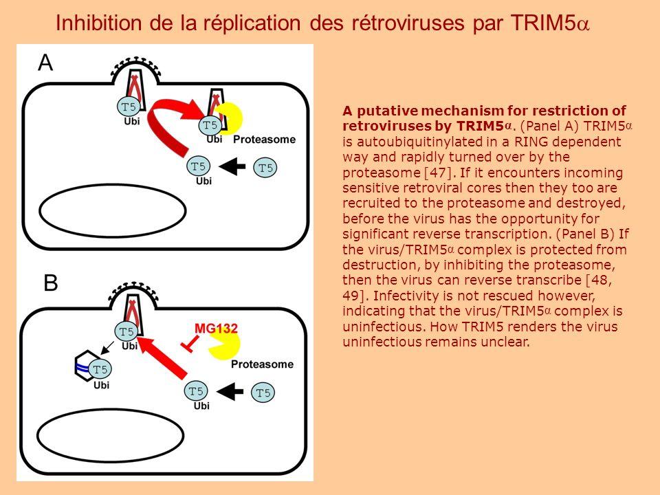 Inhibition de la réplication des rétroviruses par TRIM5a