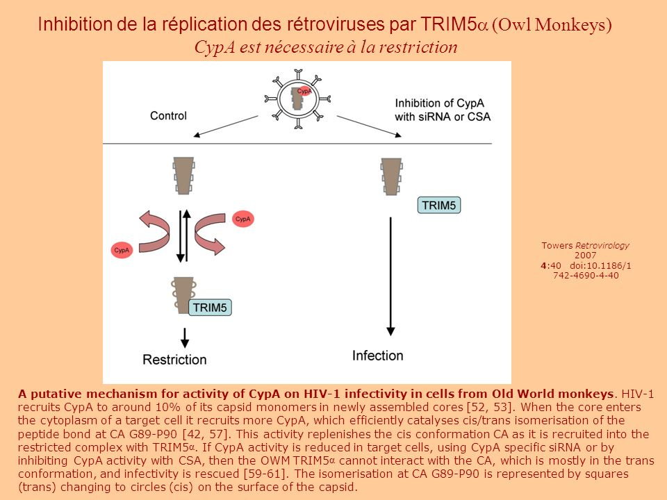 Inhibition de la réplication des rétroviruses par TRIM5a (Owl Monkeys)