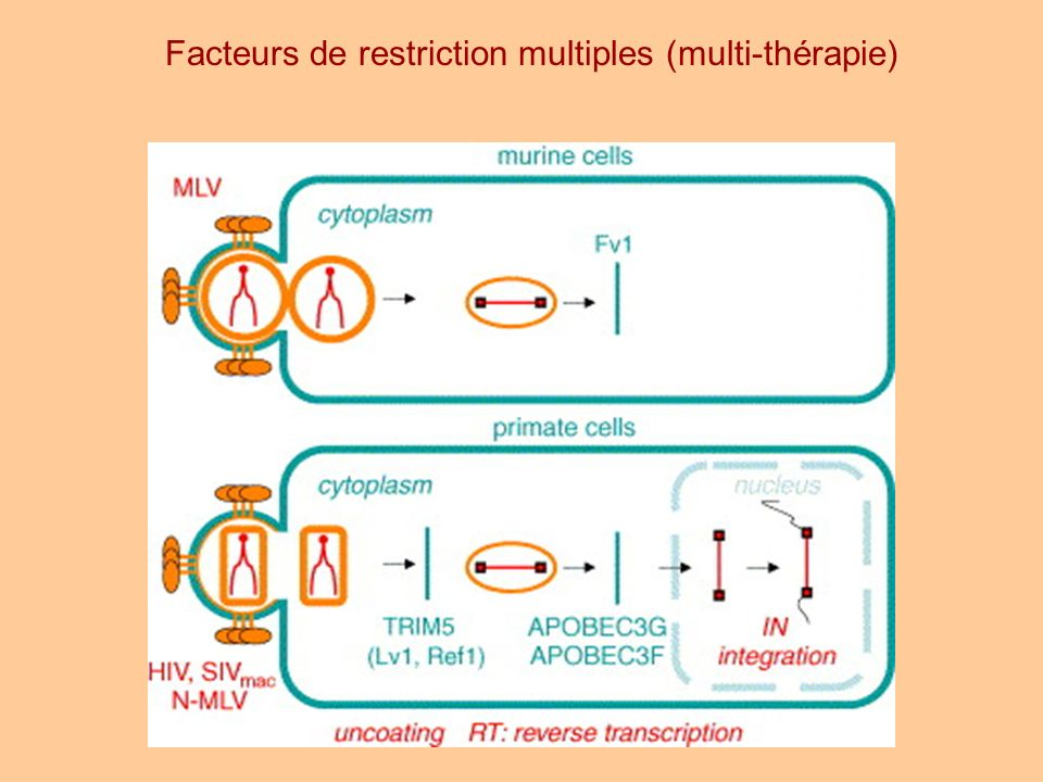 Facteurs de restriction multiples (multi-thérapie)