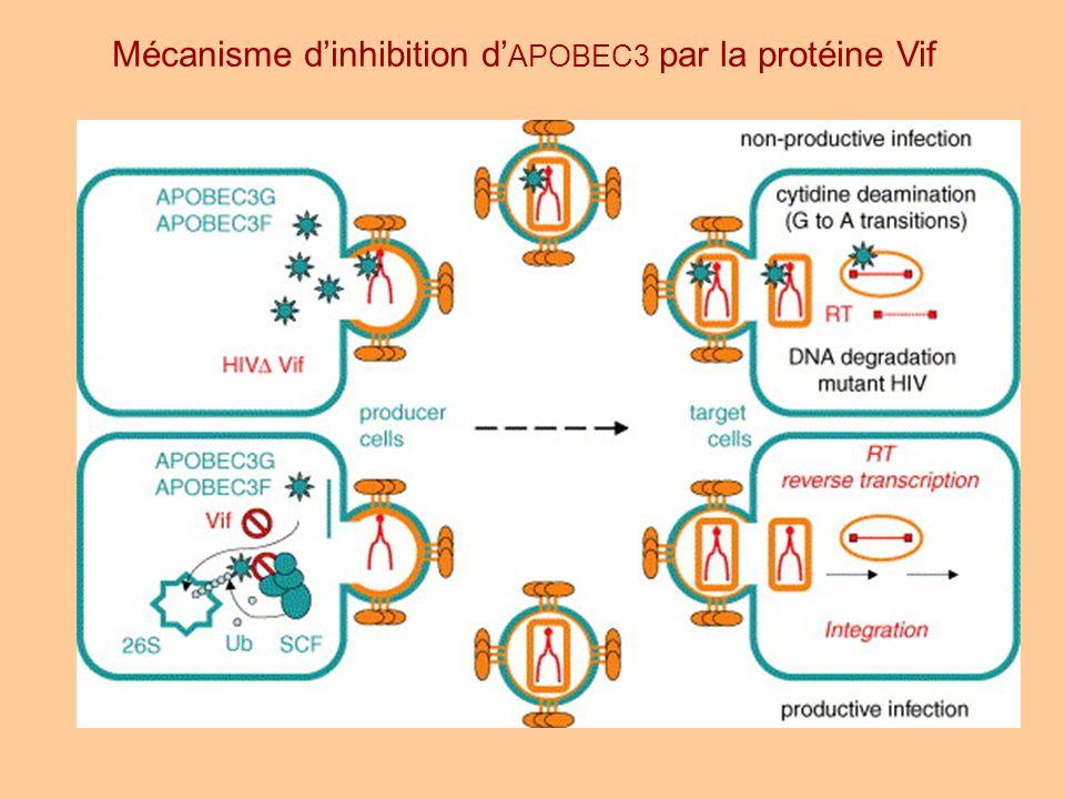 Mécanisme d'inhibition d'APOBEC3 par la protéine Vif