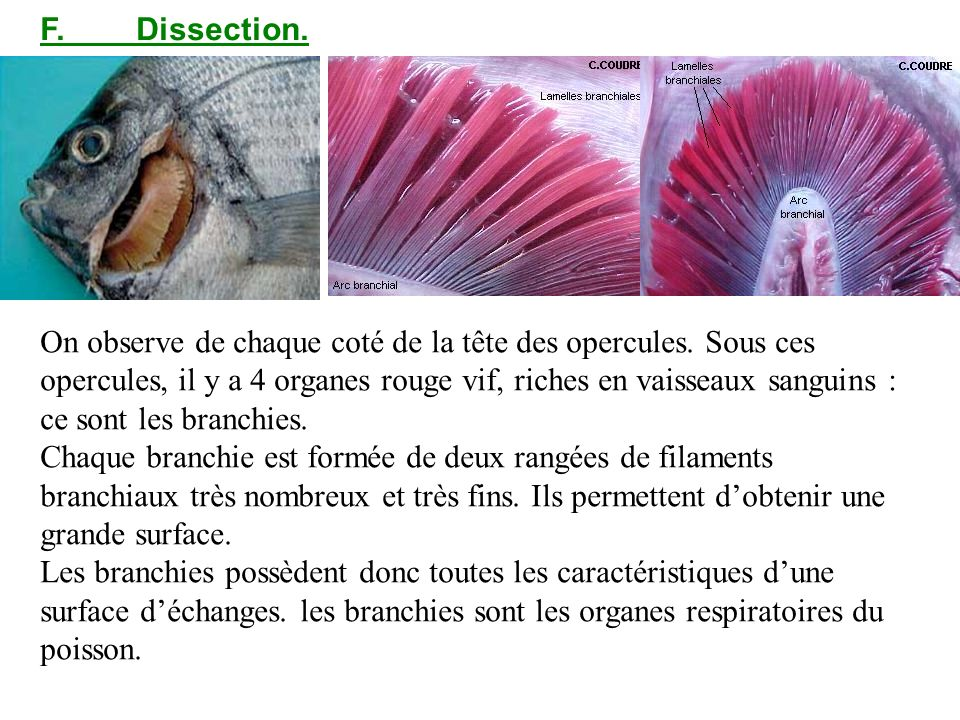 F. Dissection.