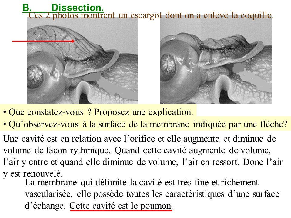 B. Dissection. Ces 2 photos montrent un escargot dont on a enlevé la coquille. Que constatez-vous Proposez une explication.
