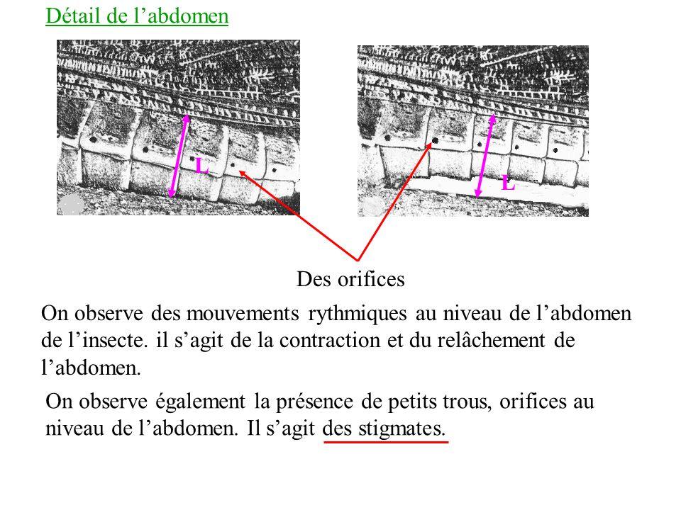 Détail de l'abdomen L. L. Des orifices.