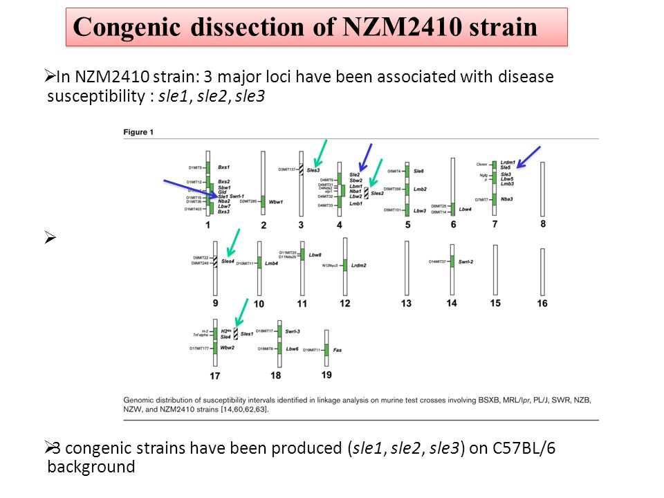 Congenic dissection of NZM2410 strain