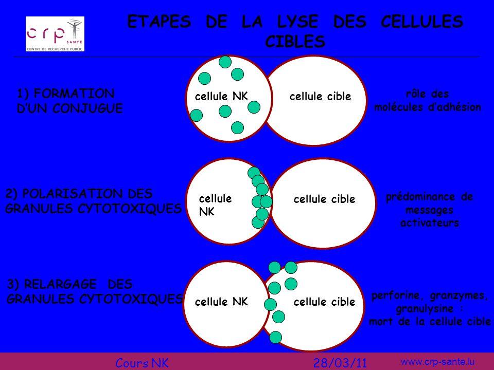 ETAPES DE LA LYSE DES CELLULES CIBLES mort de la cellule cible