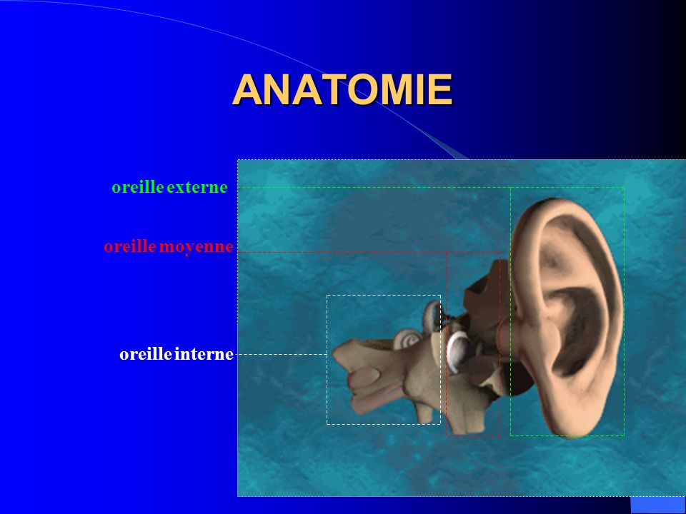 ANATOMIE oreille externe oreille moyenne oreille interne