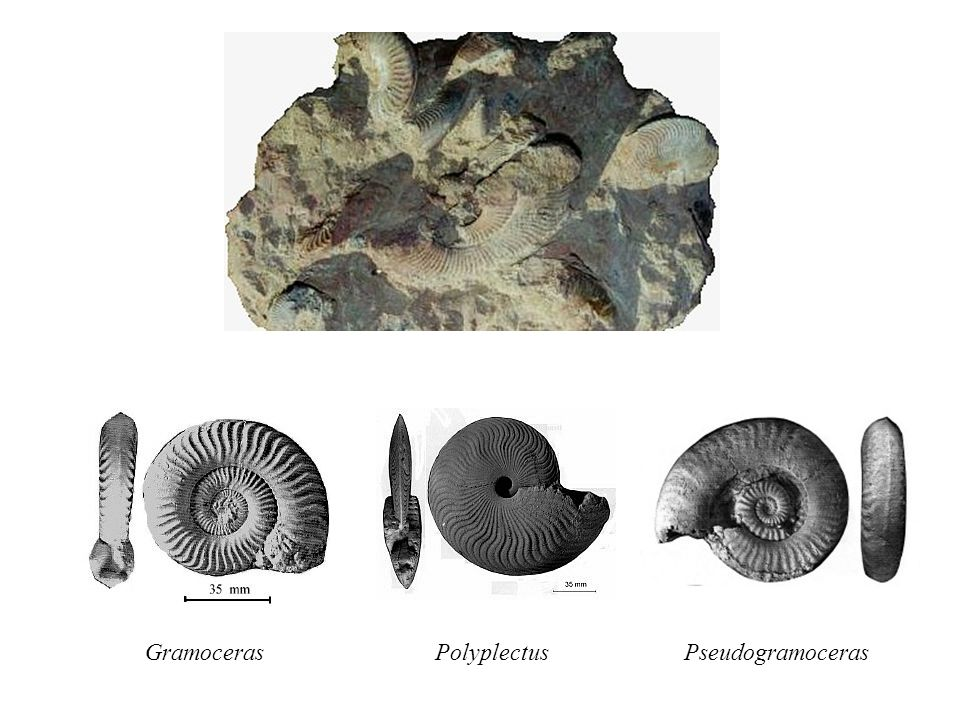 Gramoceras Polyplectus Pseudogramoceras