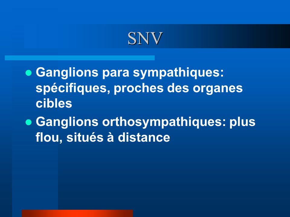 SNV Ganglions para sympathiques: spécifiques, proches des organes cibles.