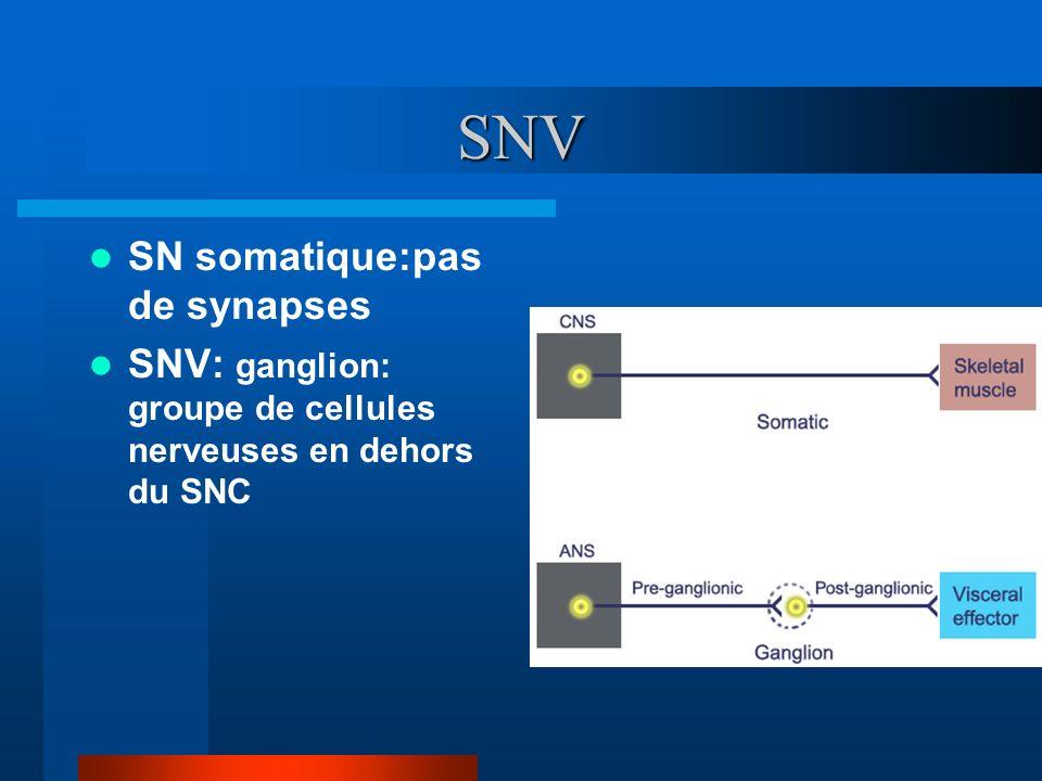 SNV SN somatique:pas de synapses