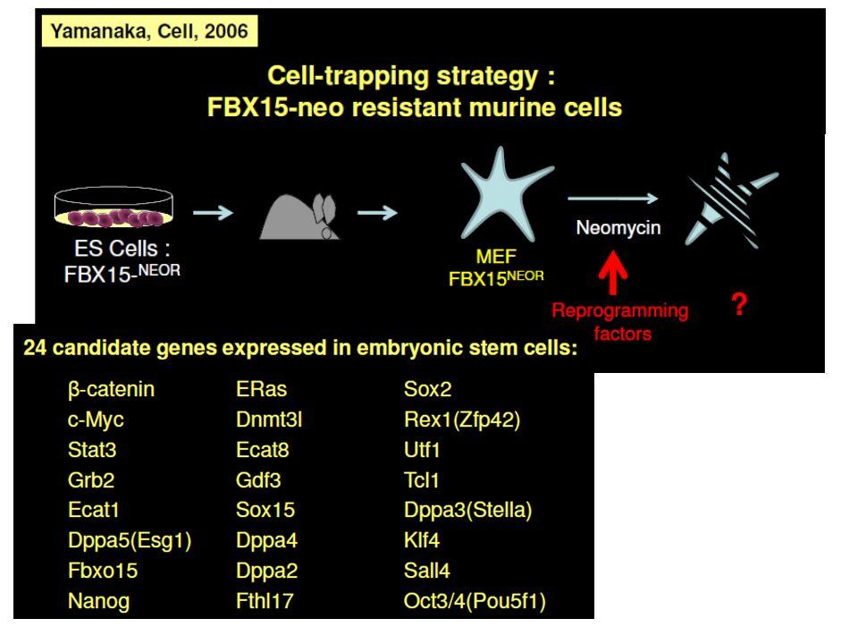 Obtention de fibroblastes avec la construction de résistance à la néomycine sous le contrôle du promoteur du gène FBX15, qui est exprimé dans les cellules souches pluripotentes