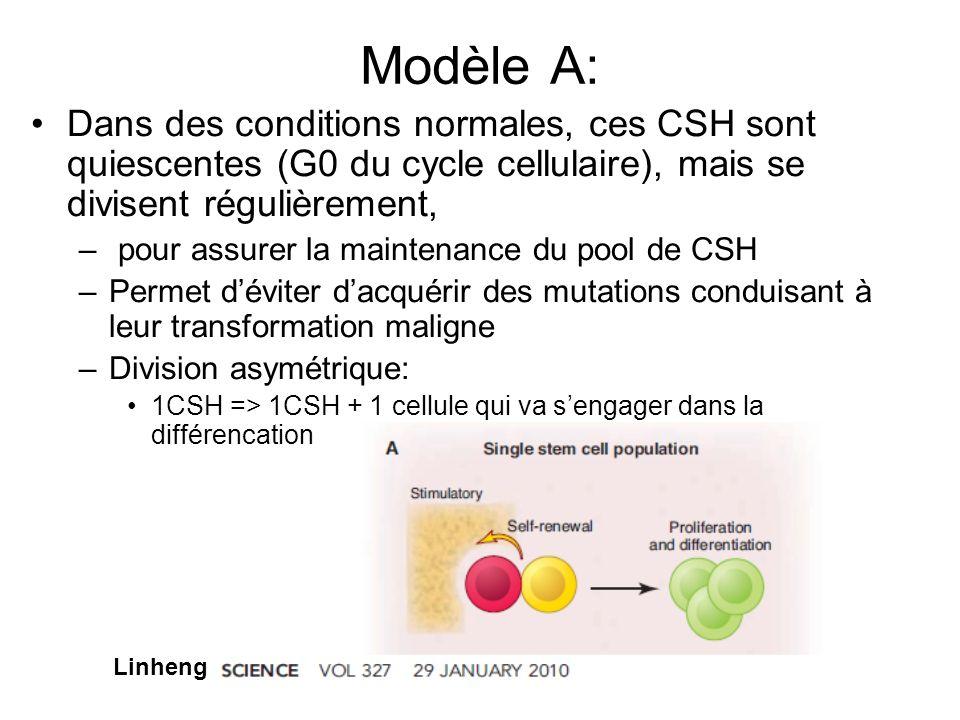 Modèle A: Dans des conditions normales, ces CSH sont quiescentes (G0 du cycle cellulaire), mais se divisent régulièrement,