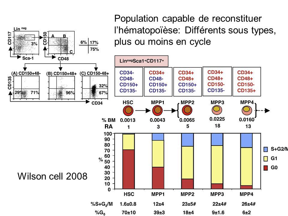 Population capable de reconstituer l'hématopoïèse: Différents sous types, plus ou moins en cycle