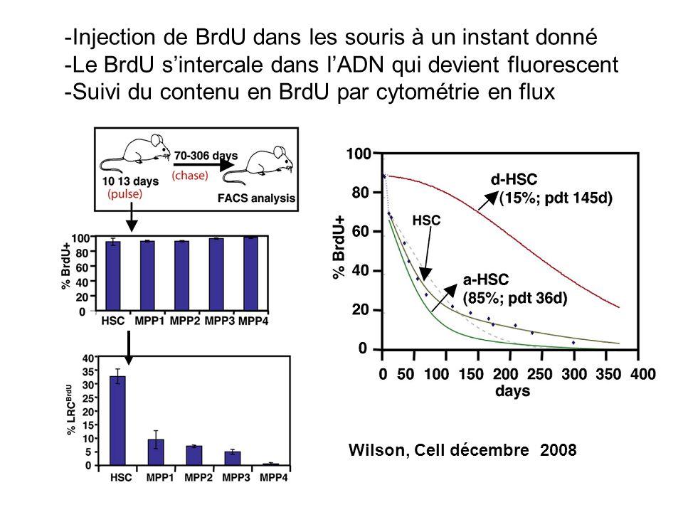 Injection de BrdU dans les souris à un instant donné