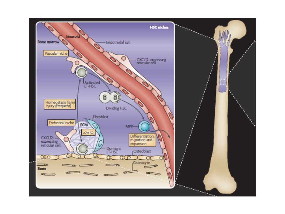 Moelle hématopoiétique: zone osseuse et zone vasculaire, siège de l'hématopoïèse: la « niche hématopoïétique »