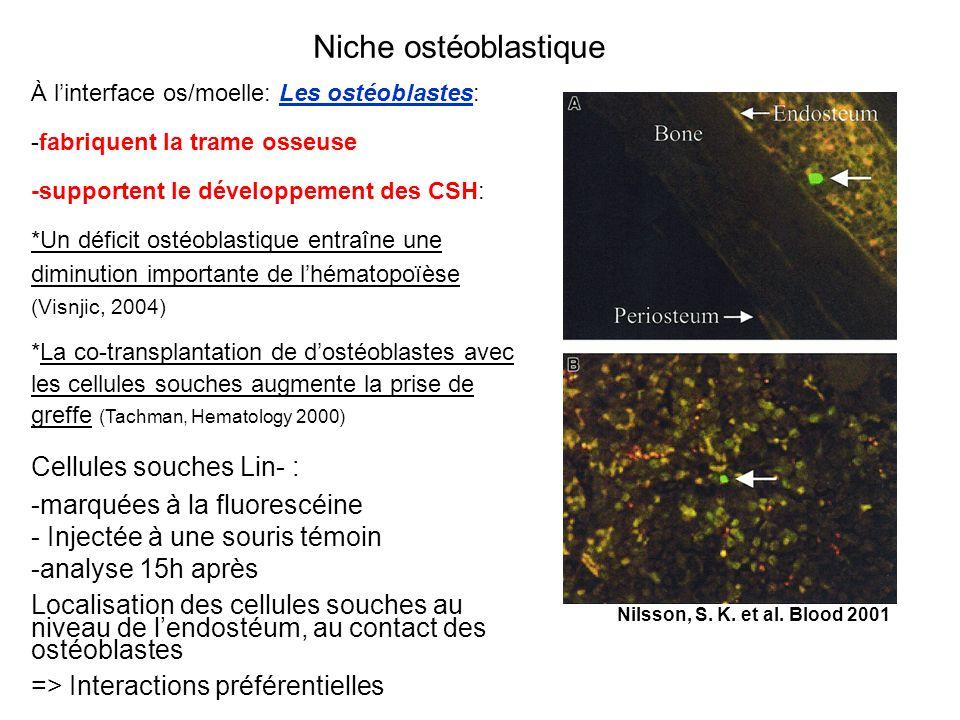 Niche ostéoblastique Cellules souches Lin- :
