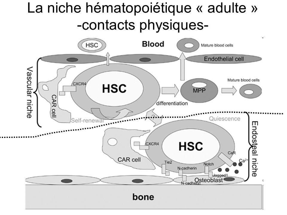 La niche hématopoiétique « adulte » -contacts physiques-