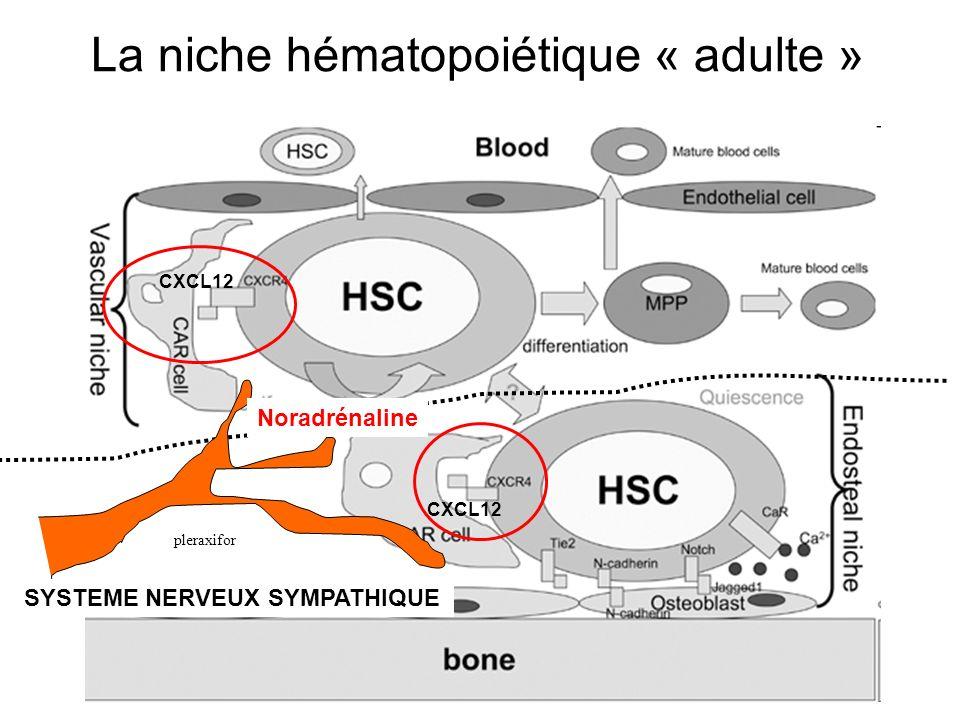 La niche hématopoiétique « adulte »