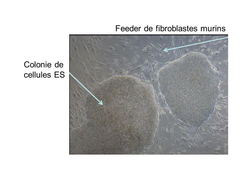 Feeder de fibroblastes murins