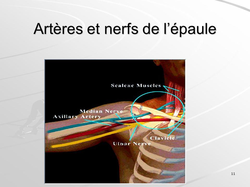 Artères et nerfs de l'épaule