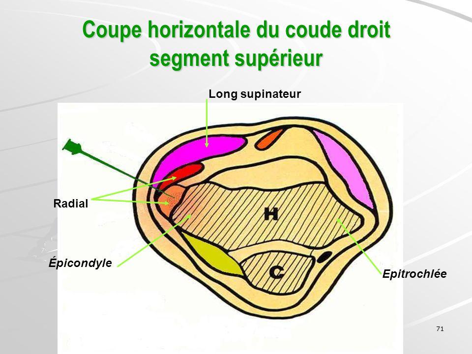 Coupe horizontale du coude droit segment supérieur