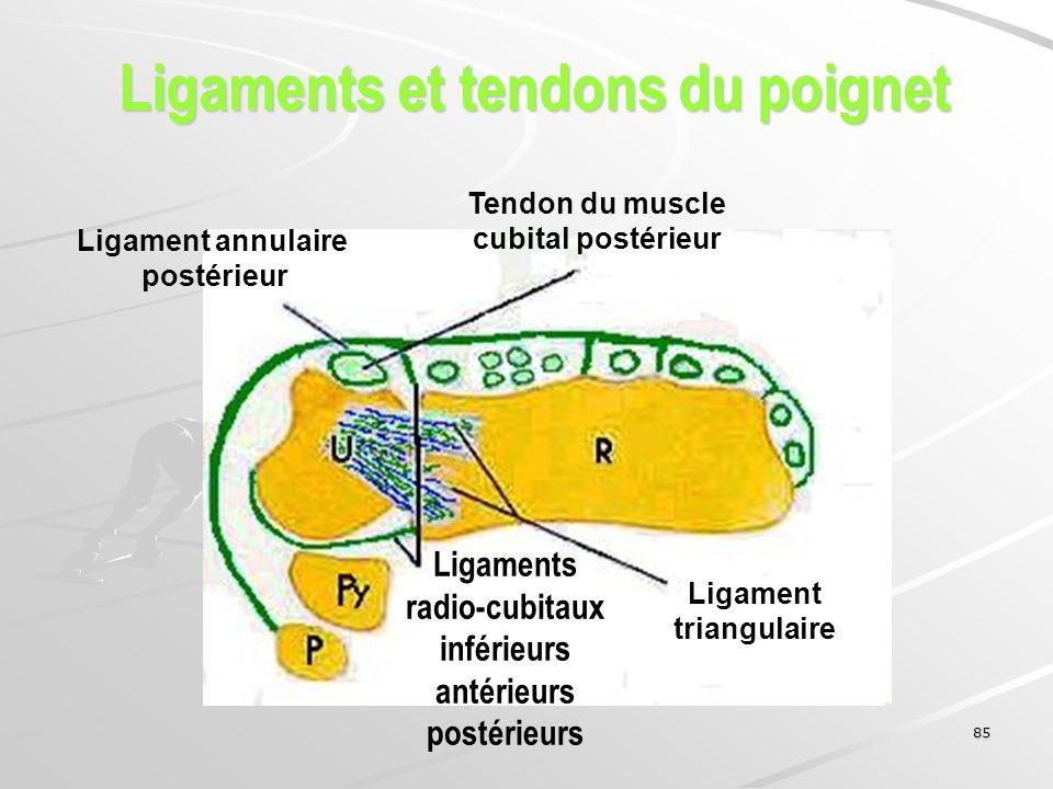 Ligaments et tendons du poignet