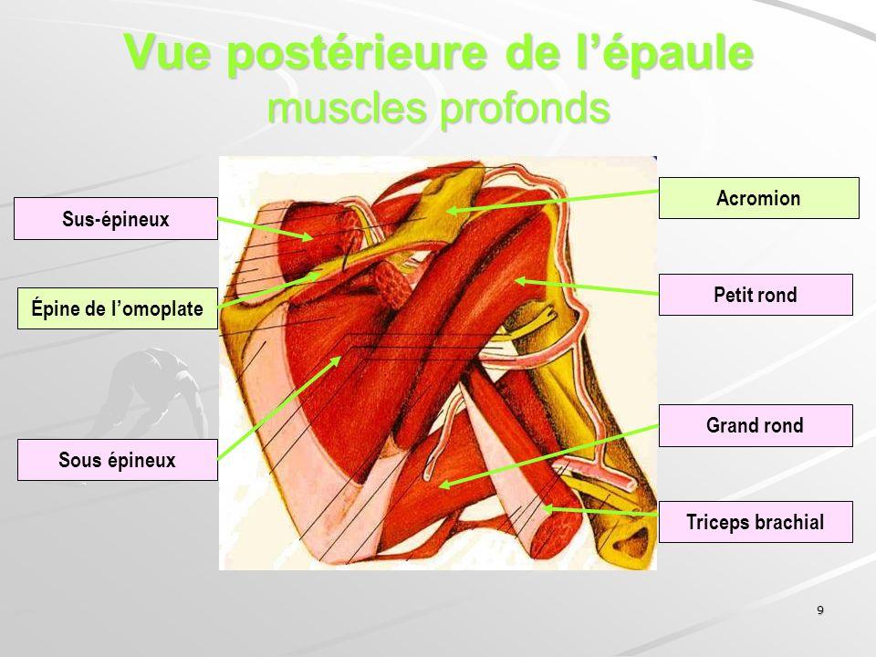 Vue postérieure de l'épaule muscles profonds