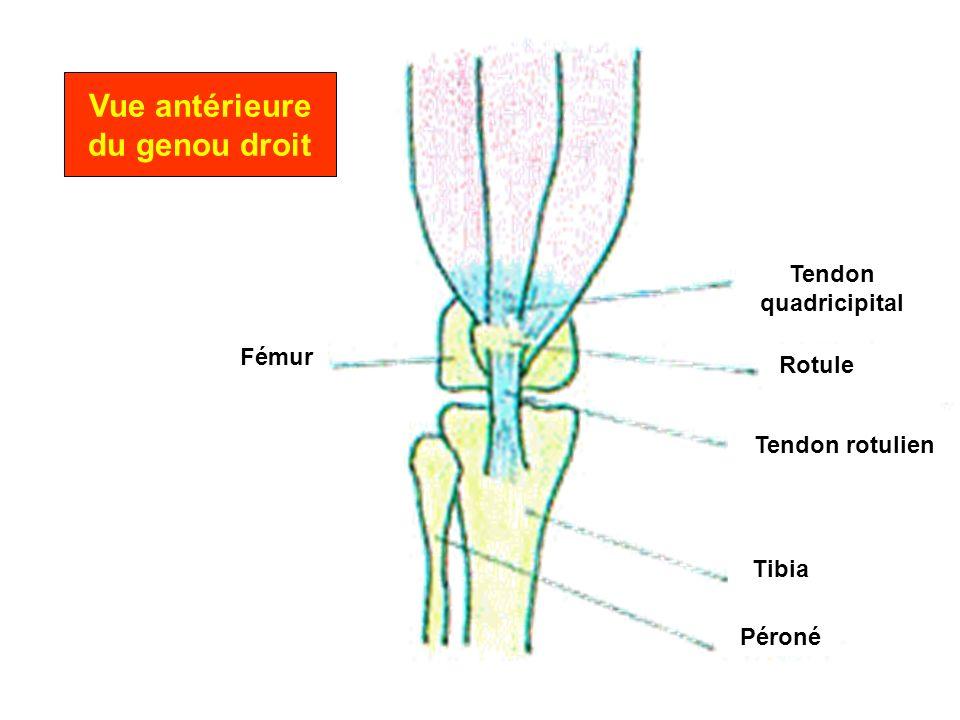 Vue antérieure du genou droit