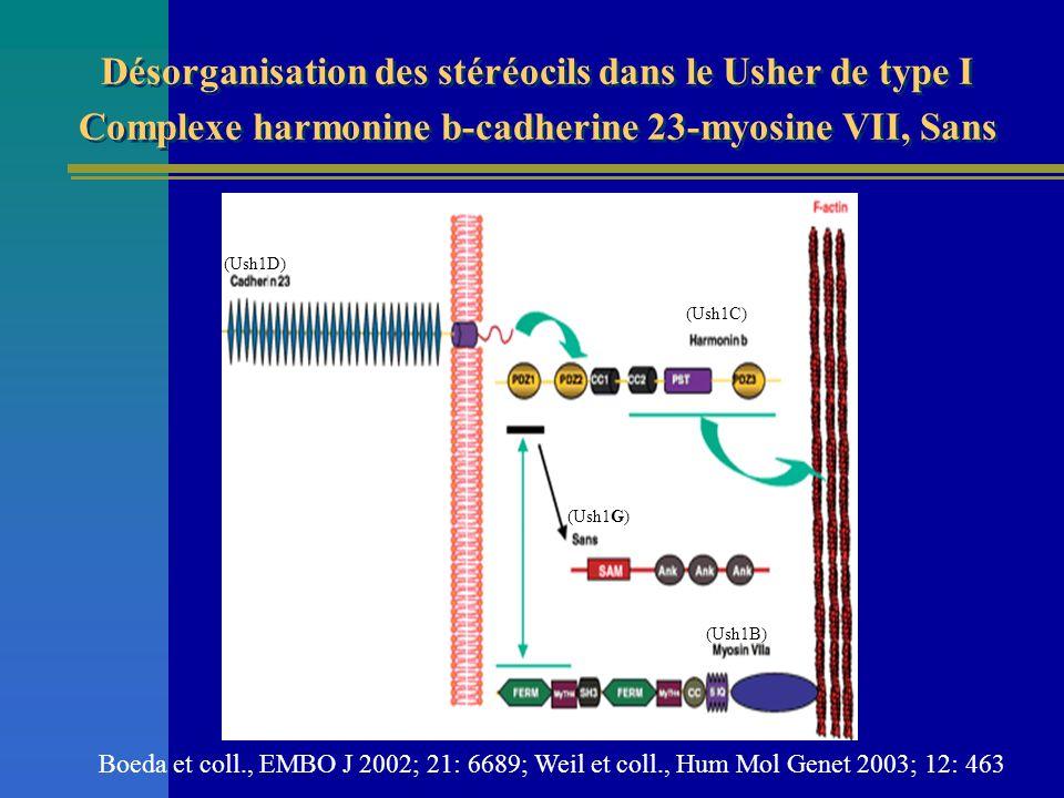 Désorganisation des stéréocils dans le Usher de type I Complexe harmonine b-cadherine 23-myosine VII, Sans