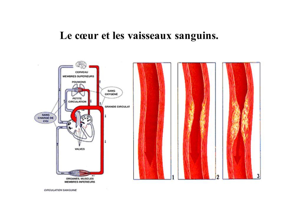 Le cœur et les vaisseaux sanguins.